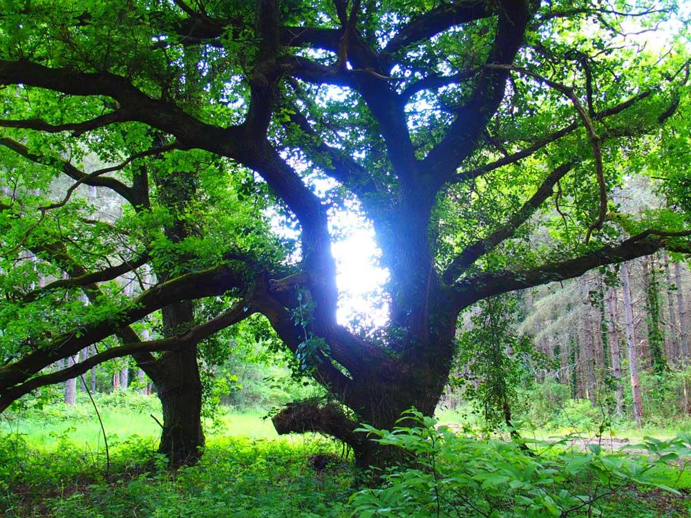 Chêne contre jour