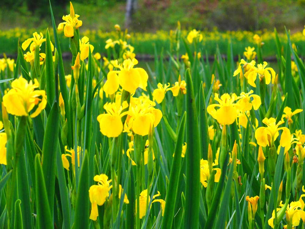 Iris des marais bord d'étang