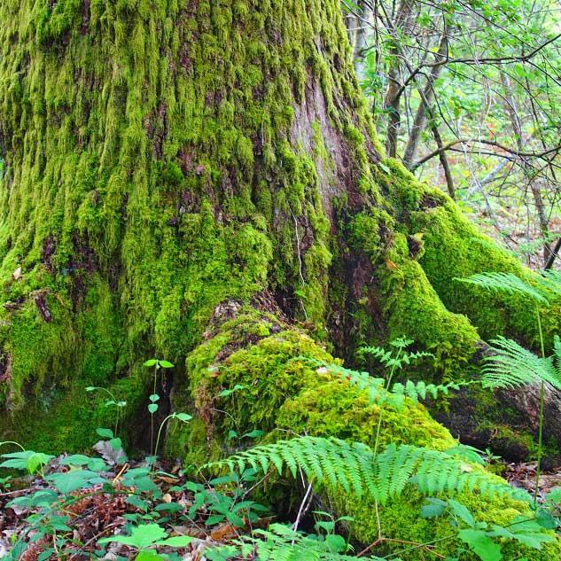 Forêt Sologne arbre moussu